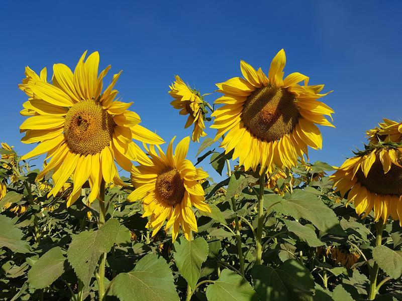 campo de girassol holambra flores