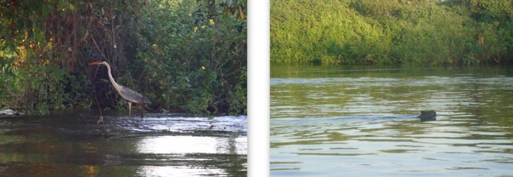 o que fazer no pantanal animais tvpm