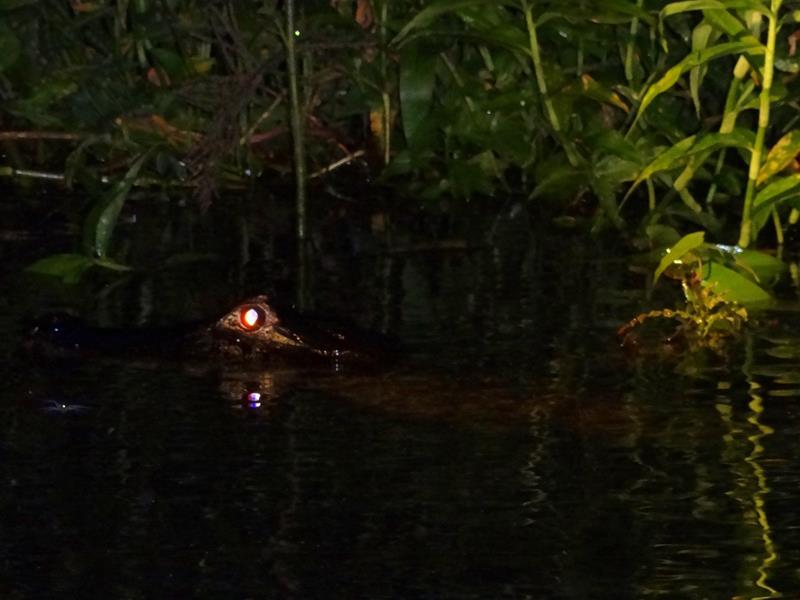 o-que-fazer-no-pantanal-jacare